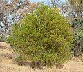 Dodonaea viscosa var angustifolia, habitus, Waterberg.jpg
