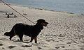 Dog on the Dune du Pyla.jpg