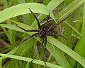 Dolomedes plantarius spider.jpg