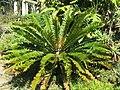 Domaine du Rayol - Encephalartos.jpg