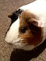 Domesticated guinea pig 14.jpg