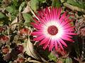Dorotheanthus bellidiformis 1c.JPG