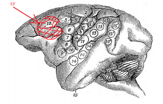 Supplementary eye field - Image: Dr. David Ferrier's Original Eye Field Brain Map in Monkeys