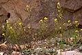 Draba mogollonensis - Flickr - aspidoscelis (3).jpg