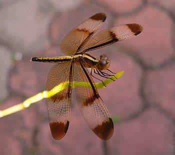 English: Dragonfly