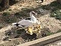 DuckWithchick001.jpg