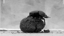 Fichier:Dung beetle dance (long) from journal.pone.0030211.ogv