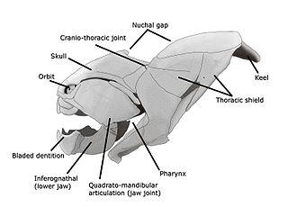Dunkleosteus - A skull diagram of Dunkleosteus