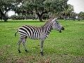 Duval Island Zebra laughing - panoramio.jpg