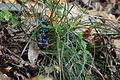 Dwarf Lily-turf (Ophiopogon japonicus) (23843684941).jpg