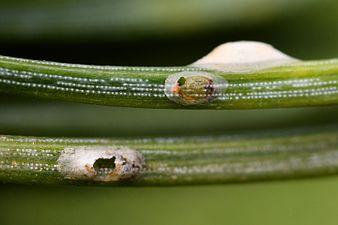 Dynaspidiotus regnieri (31299495274).jpg