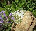 Eastern Bath White . Pontia edusa (44965795541).jpg