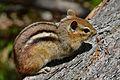 Eastern Chipmunk (Tamias striatus) - Mississauga, Ontario.jpg