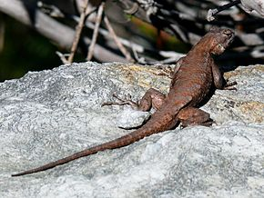 Description de l'image Eastern Fence Lizard-27527-1.jpg.