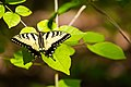 Eastern tiger swallowtail (34004306075).jpg