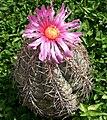 Echinocactus horizontalonius.jpg