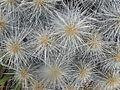 Echinocereus stramineus (5686867350).jpg