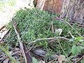 Einadia nutans subsp nutans plant3 (16288378026).jpg