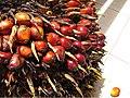 Elaeis guineensis - noix de palme - oil palm fruit detail.jpg