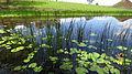 Eleocharis equisetina in pond (16001946481).jpg