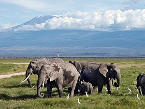 Amboseli National Park - Elephants grazing in Amboseli swamps, north of Mount Kilimanjaro