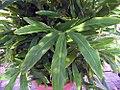Elettaria cardamomum 0zz.jpg