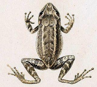 <i>Eleutherodactylus oxyrhyncus</i> species of amphibian