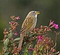 Emberizoides herbicola -Piraju, Brasil -nature reserve-8a.jpg