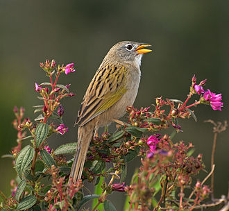 Wedge-tailed grass finch - Image: Emberizoides herbicola Piraju, Brasil nature reserve 8a