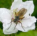 Empis sp. - Flickr - gailhampshire.jpg