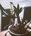 Encyclia vespa - 3.jpg