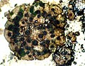 Endocarpon petrolepideum-6.jpg
