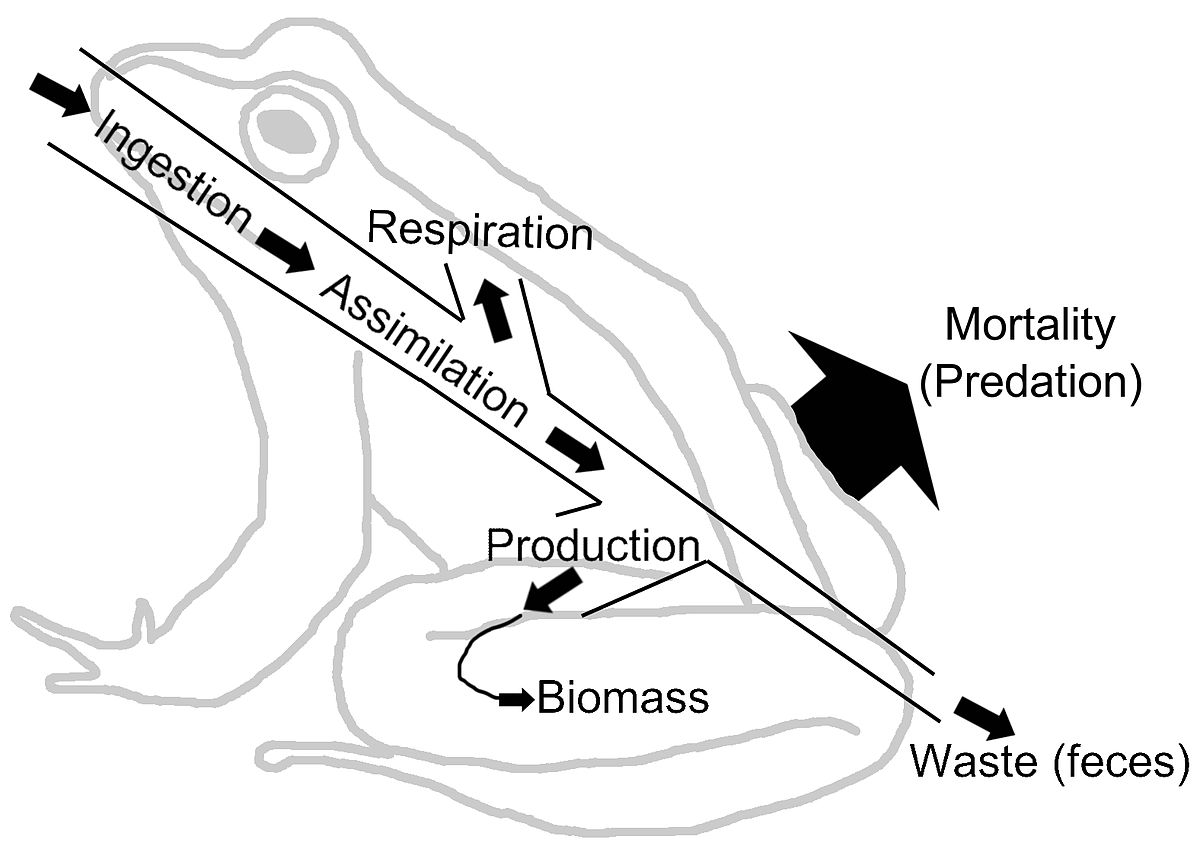 Energy Flow Ecology Wikipedia