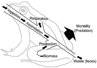 Energy flow (ecology) - Image: Energy Flow Frog