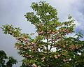 Enkianthus campanulatus in Mount Kohide 2010-07-01.jpg