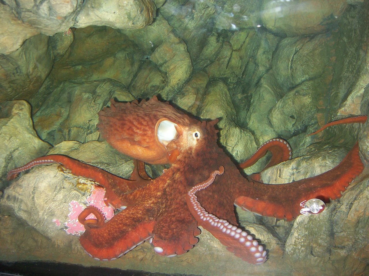 https://upload.wikimedia.org/wikipedia/commons/thumb/5/52/Enteroctopus_dofleini_in_aquarium_rotated.jpg/1280px-Enteroctopus_dofleini_in_aquarium_rotated.jpg