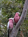 Eolophus roseicapilla -Australia -two in tree-8.jpg