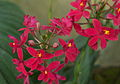 Epidendrum Ballerina Fire Ball.jpg