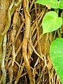 Epipremnum aureum (liane).jpg