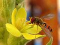 Episyrphus balteatus - Hainschwebfliege I.jpg