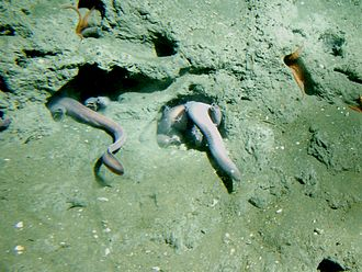 Hagfish - Pacific hagfish at 150 m depth, California, Cordell Bank National Marine Sanctuary