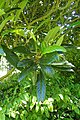 Eriobotrya japonica kz01.jpg