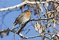 Erithacus rubecula - European robin, Adana 2016-12-10 04-3.jpg