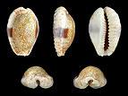 Erosaria erosa chlorizans 01.JPG