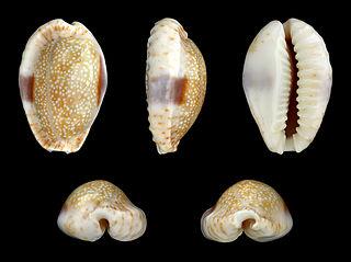 <i>Naria</i> (gastropod) Genus of gastropods