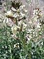 Eruca vesicaria. Big Bend National Park, Hwy 1776. March 2004 (7B5AA37F434C4A70A2D557E9F1206F94).JPG