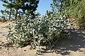 Eryngium maritimum kz06.jpg