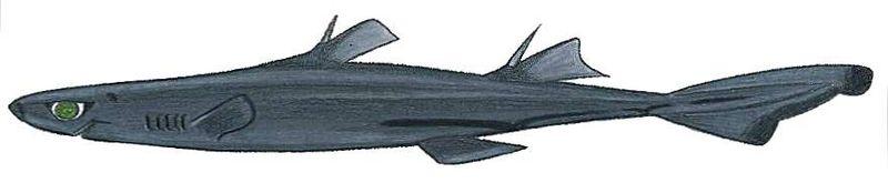 File:Etmopterus polli.JPG