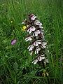 Eußenheim Neubergsgraben Mai 2007 Orchideen 18.jpg