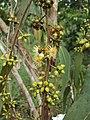Eucalyptus camaldulensis 10.JPG